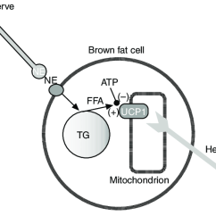 White Fat Cell Diagram 5 Layers Of Epidermis The Basic Principles For Heat Production In Brown Adipose Tissue Cells Are Stimulated By Norepinephrine Ne Released From Sympathetic