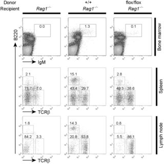 (A) Flow cytometric analyses of surface markers of B cell
