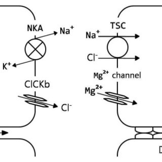 (PDF) Magnesium Metabolism