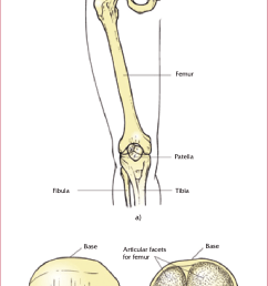 upper leg bones diagram wiring diagram expert the bones of the upper leg and kneecap  [ 717 x 1176 Pixel ]
