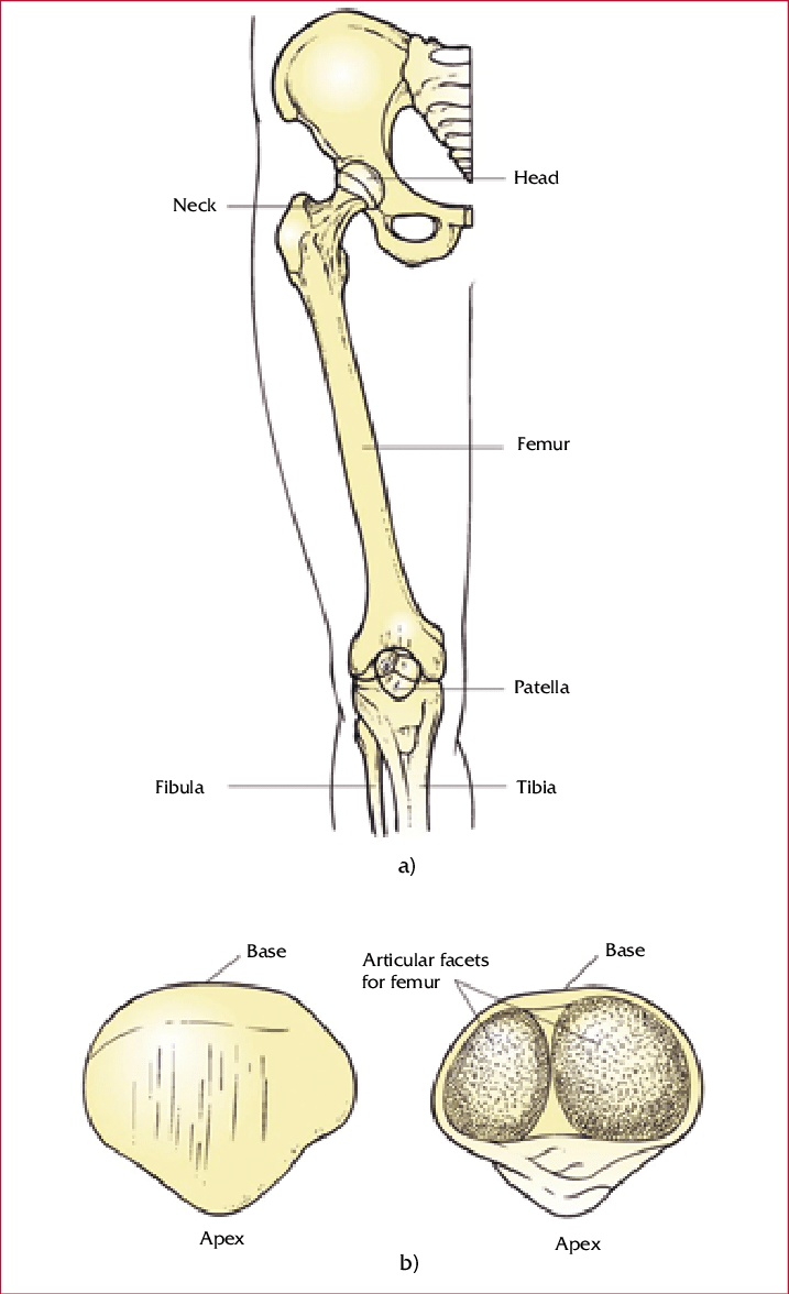 medium resolution of upper leg bones diagram wiring diagram expert the bones of the upper leg and kneecap