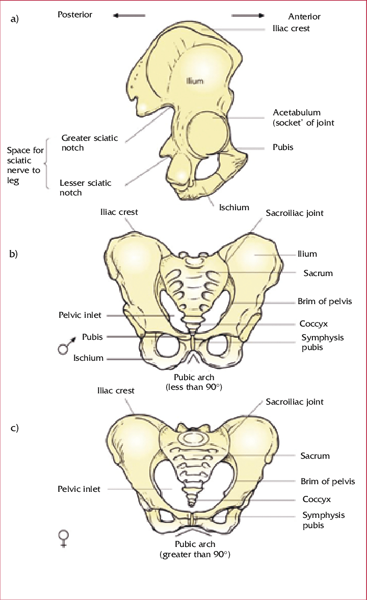 medium resolution of the pelvic girdle a lateral view of the right side to show the