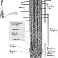 Onion Root Tip Diagram Kenwood Kvt 512 Wiring 2 Main Tissues And Regions Of Activity In An Source