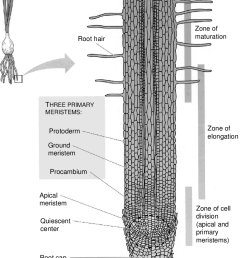 2 main tissues and regions of activity in an onion root tip source diagram of root tip cell diagram of root tip [ 850 x 1134 Pixel ]
