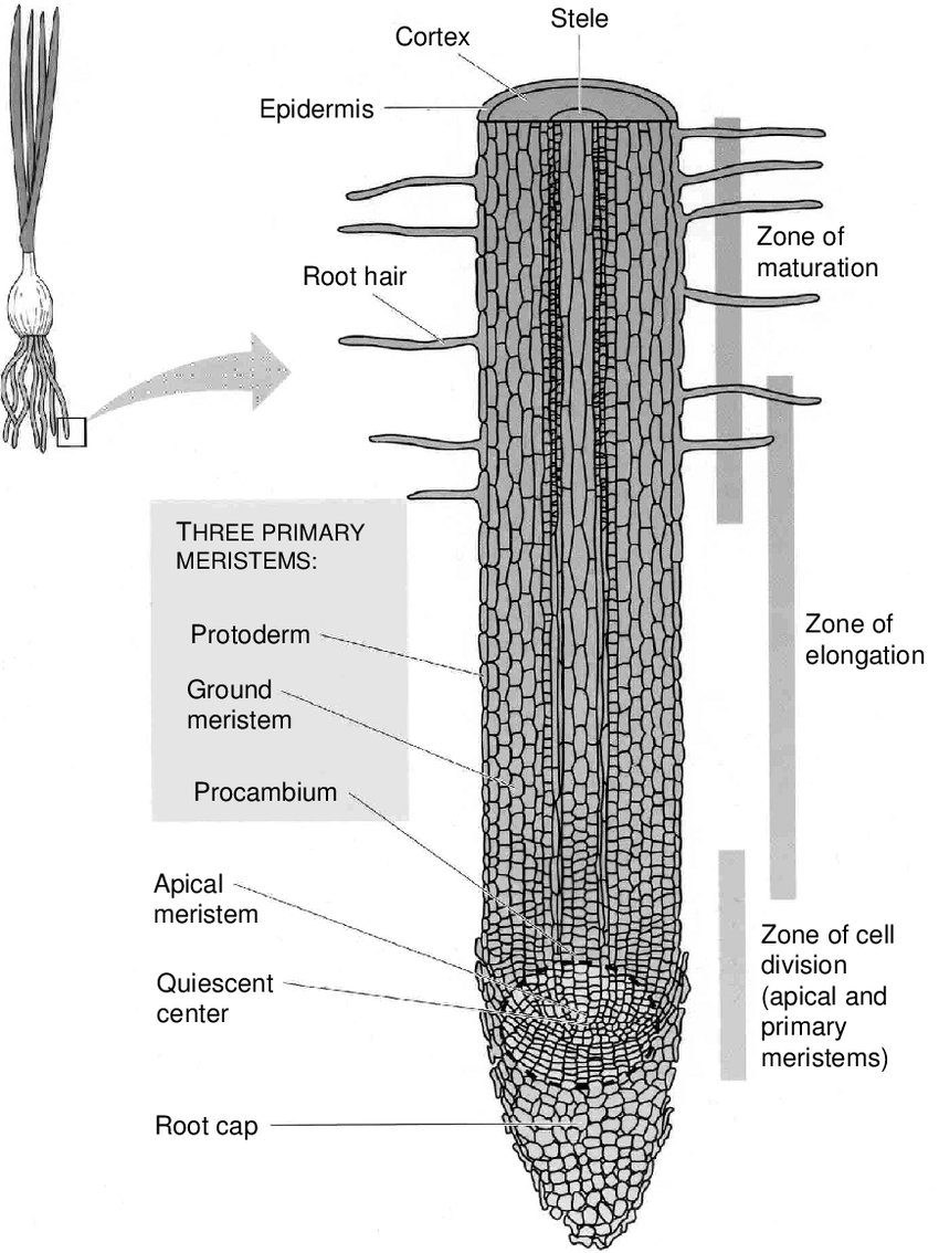 hight resolution of 2 main tissues and regions of activity in an onion root tip source