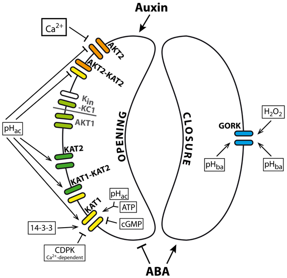 K+ channels in Arabidopsis guard cells and their effectors