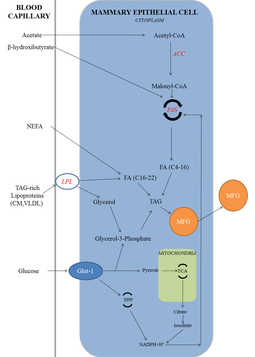 medium resolution of 5 biosynthesis of milk fat abbreviations acc acetyl coa download scientific diagram