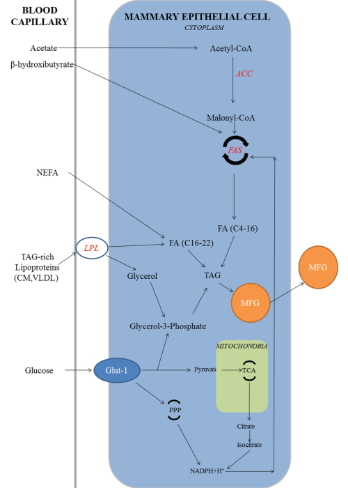 small resolution of 5 biosynthesis of milk fat abbreviations acc acetyl coa download scientific diagram