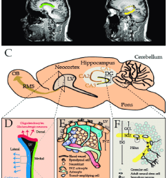 the mammalian central nervous system cns comprises two major stem download scientific diagram [ 850 x 1071 Pixel ]