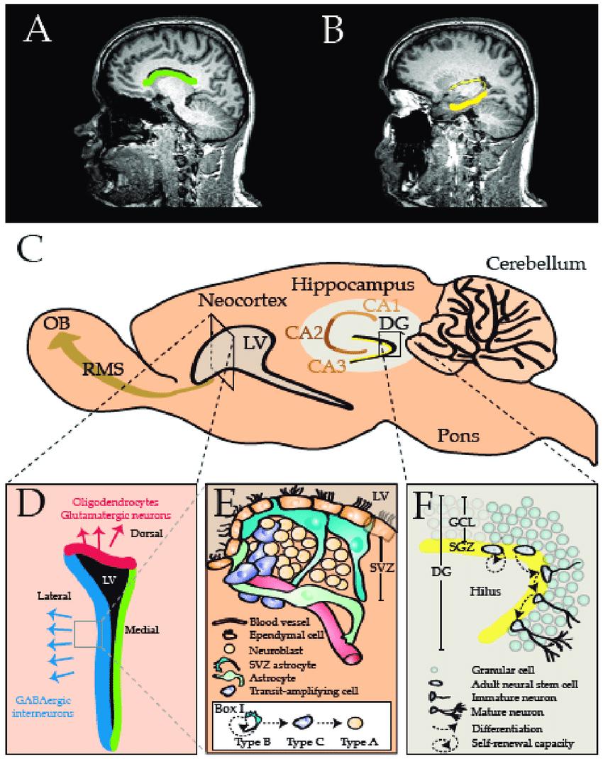 medium resolution of the mammalian central nervous system cns comprises two major stem download scientific diagram