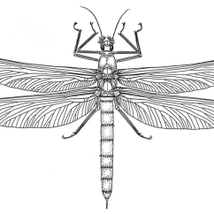 Dragonflies Eye Diagram Underfloor Heating Wiring Controls Meganisoptera Gigantic Adult Maximum Wing Span 73 Cm Reconstruction Based