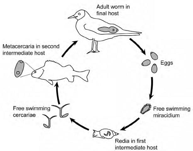 bird life cycle diagram gfs super strat wiring of diplostomum spathaceum download scientific