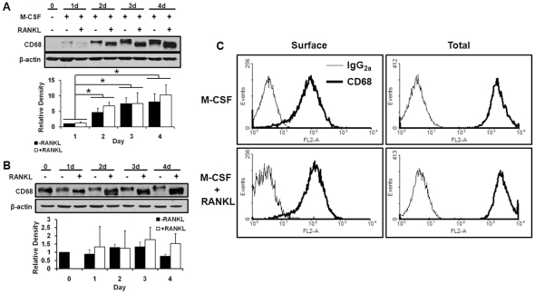 (A) CD68 and β-actin expression in mouse bone marrow