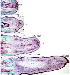 a anolis carolinensis lizard with a regenerating tail distal to download scientific diagram [ 798 x 1338 Pixel ]