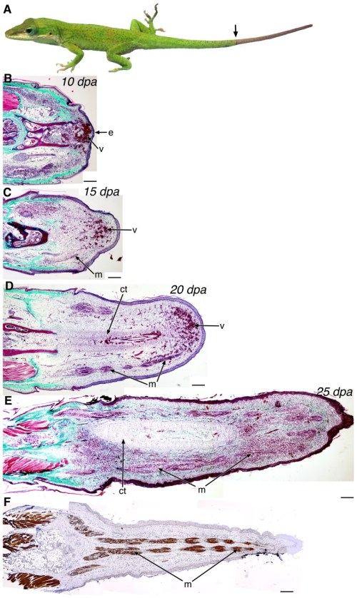 small resolution of  a anolis carolinensis lizard with a regenerating tail distal to download scientific diagram