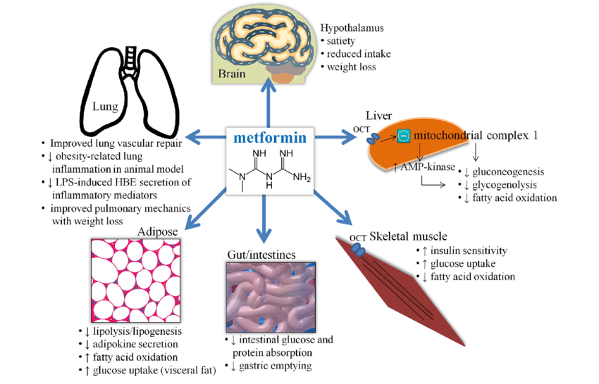 Effects of metformin relevant to lung health. Metformin gains... | Download  Scientific Diagram