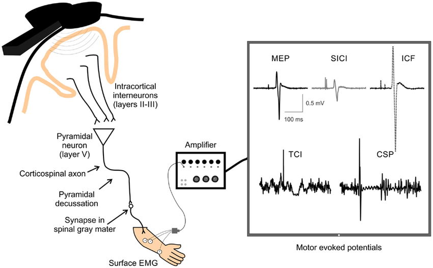 A schematic of TMS-evoked measures of single and paired