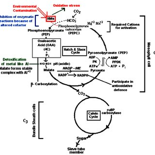 Photosynthesis diagram of C 3 and C 4 plant showing the