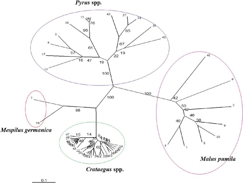 Phylogenetic tree of different genera based on banding