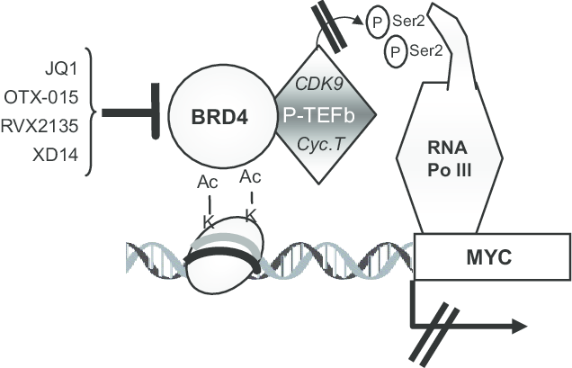 Scheme of the mechanism of action of BRD4 inhibitors as