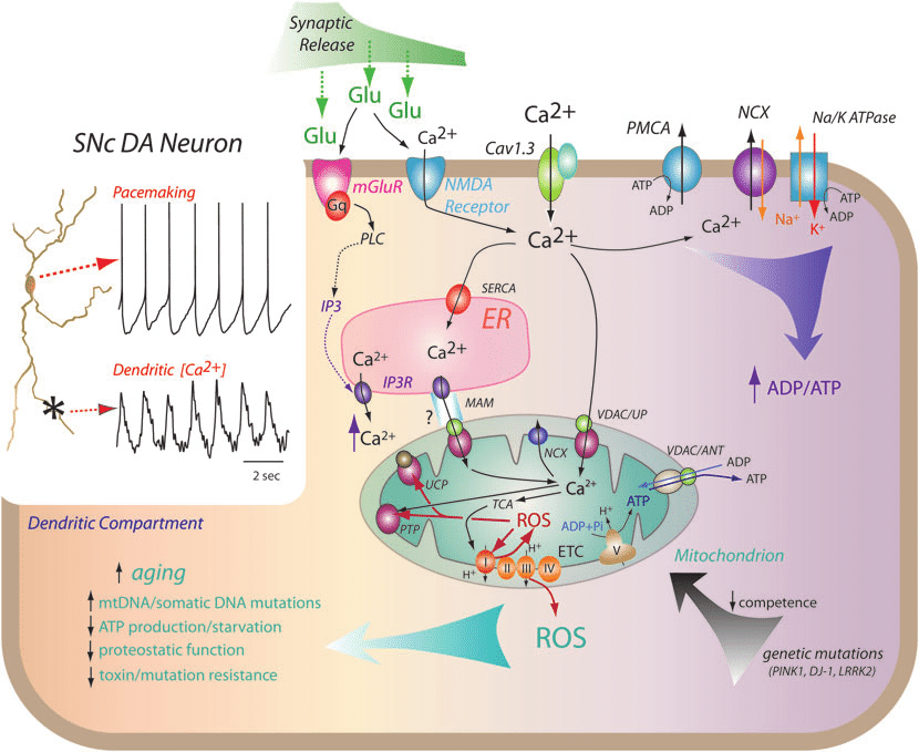 Calcium signaling in SNc DA neurons could lead to ...