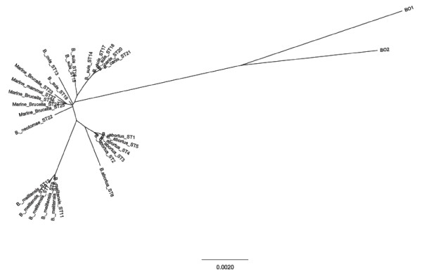 Unrooted phylogenetic reconstruction of the concatenated