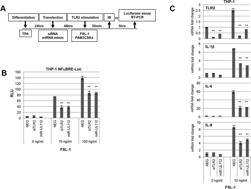 miR-UL112-3p inhibits TLR2-dependent activation of the