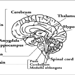 Brain Diagram Pons Prepaid Electric Meter Wiring A Shows The Median Sagittal Section Of B Frontal Cerebrum