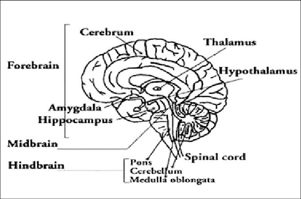 a Diagram shows the median sagittal section of the brain