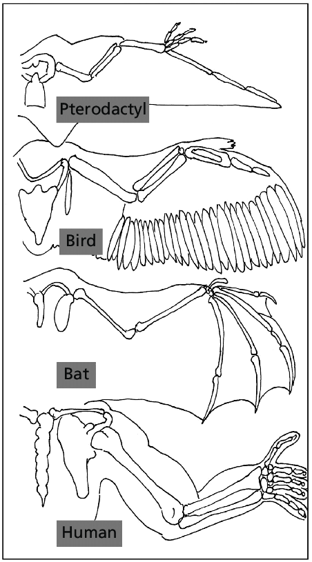 1 Convergent evolution of wing and arm structure in
