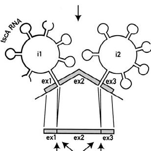 Both electron transfer branches are active in the PS I