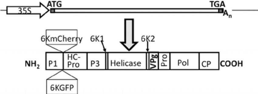 Schematic representation of recombinant TuMV expressing 6K
