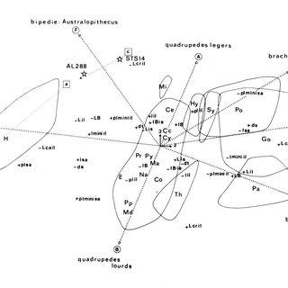 (PDF) Les caractéristiques du bassin des australopithèques