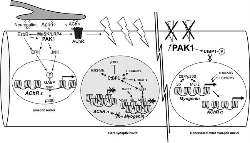 PAK1 and CtBP1 mediate the action of neural inputs on gene