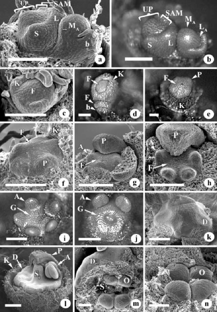Developmental Stages Of Apical Meristems Inflorescence