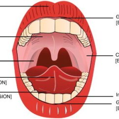 Anatomy Digestive Diagram Salivary Glands Sportster Wiring The Of Oral Cavity. Sublingual And Buccal Regions For... | Download Scientific ...