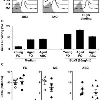 CD21/35 CD23 B cells accumulate in aged mice. (A) Cells
