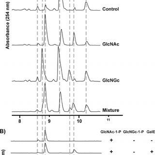 (PDF) Metabolism of vertebrate amino sugars with N