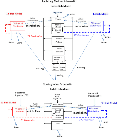 small resolution of schematic of the biologically based lactating mother and nursing infant model for thyroid hormone homeostasis from