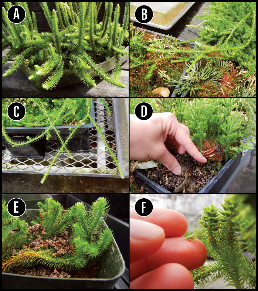 medium resolution of a d examples of regions of several clubmosses selected for download scientific diagram