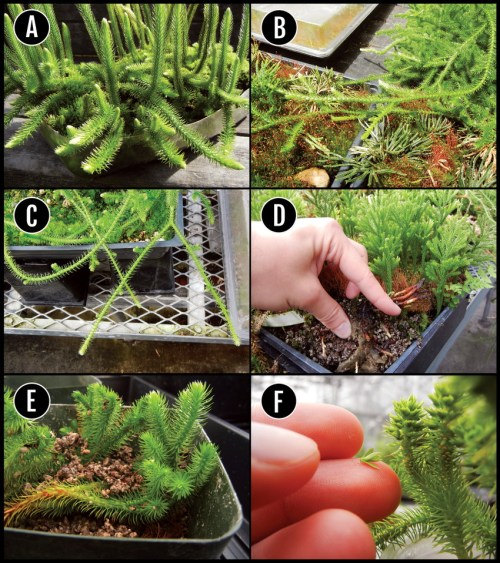 small resolution of a d examples of regions of several clubmosses selected for download scientific diagram