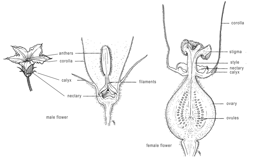 Diagram of squash flowers illustrating floral parts. The