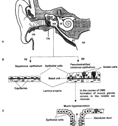 anatomy of the ear schematic structure of the middle ear epithelium download scientific diagram [ 850 x 1092 Pixel ]