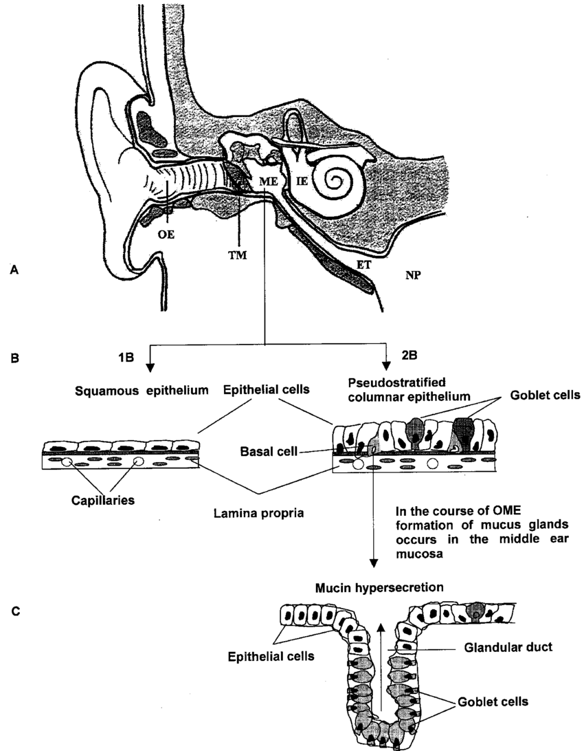 medium resolution of anatomy of the ear schematic structure of the middle ear epithelium download scientific diagram