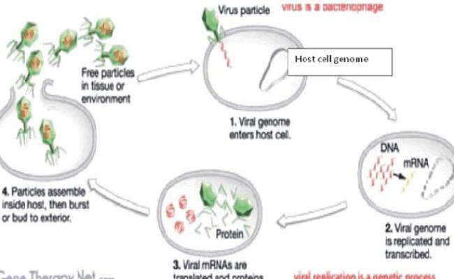 The Way How Do Viruses Work 11 Download Scientific