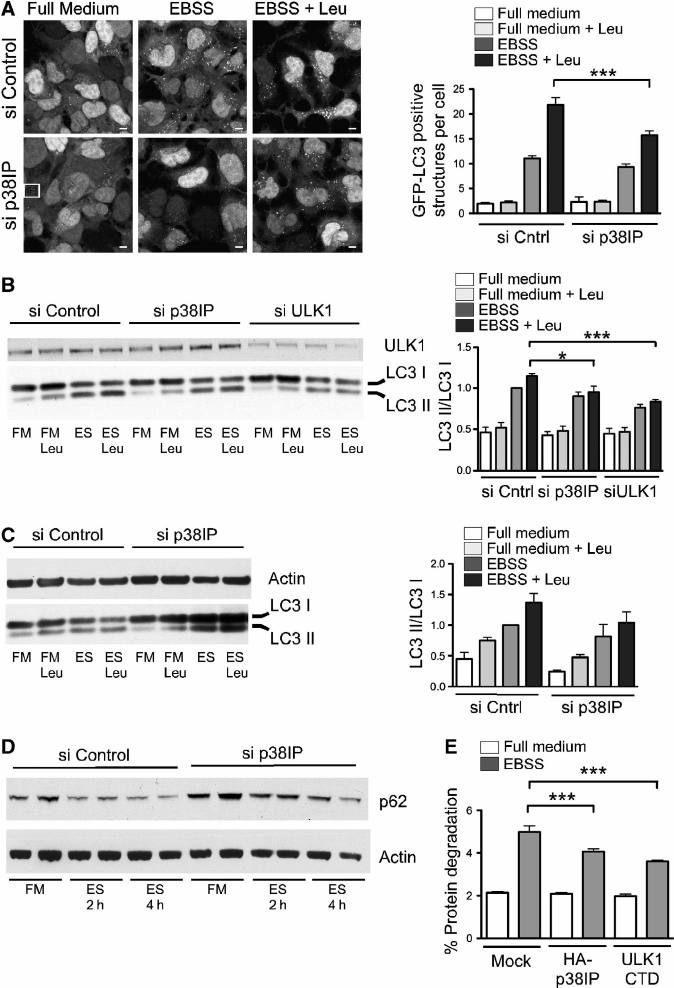 p38IP is required for mammalian autophagy.( A ) 293/GFP