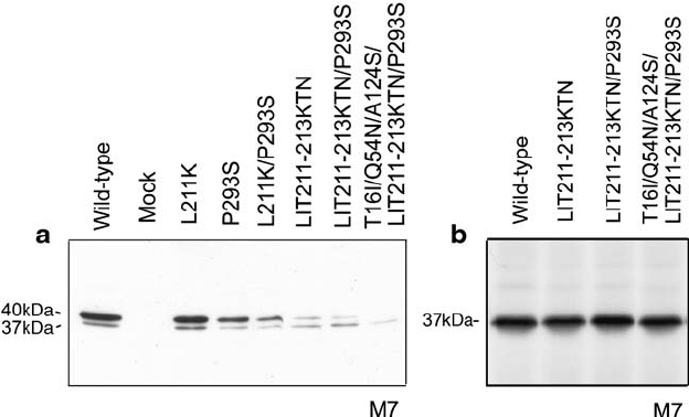 Comparison of in vivo and in vitro synthesis of G6Pase- α