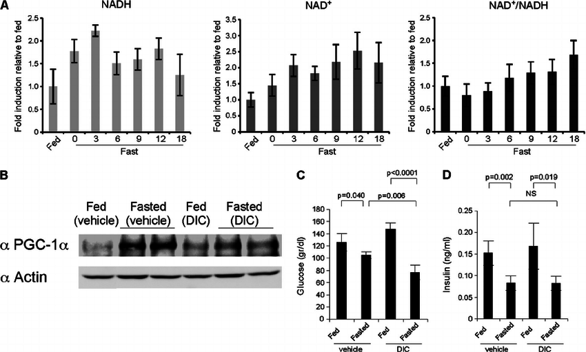 A role for NQO1 activity in regulating PGC-1 ␣ in fasting