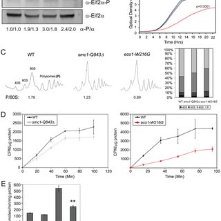 (PDF) Cohesin Proteins Promote Ribosomal RNA Production