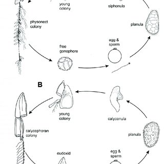 5.1 Ctenophore life cycle of the comb jelly Mnemiopsis